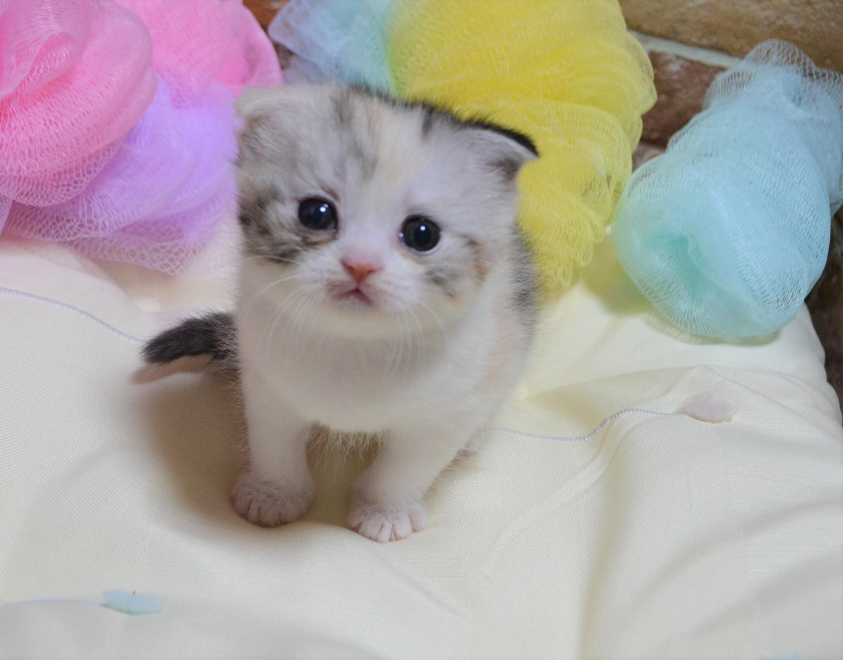 愛猫さがし 安心安全のブリーダー直販の子猫販売 子猫ブリーダー